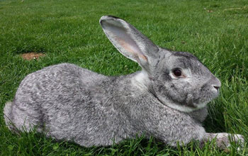 Flemish Giant-Rabbit Light Grey