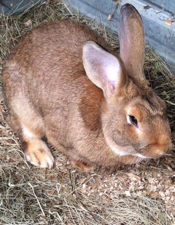 Flemish Giant Rabbit Sandy
