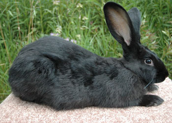 Flemish Giant black
