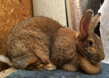 flemish giant sandy