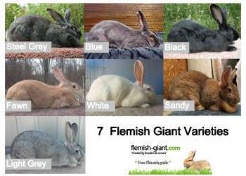 flemish giant varieties