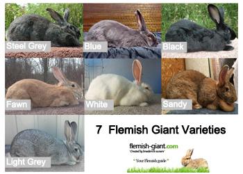 flemish giant varieties