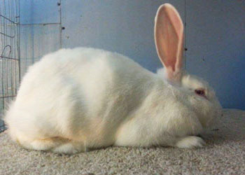 flemish giant white