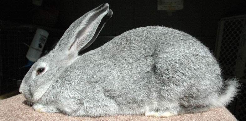Flemish Giants have big, erect ears and a mandolin style body type