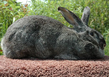 Flemish Giant steel gray