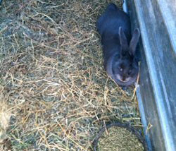 Eating hay flemish giant