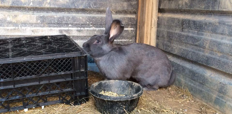 blue flemish giant rabbit