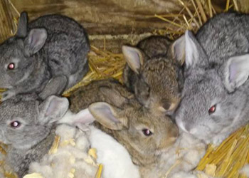 few weeks old flemish giants