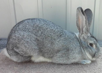 flemish giant light grey