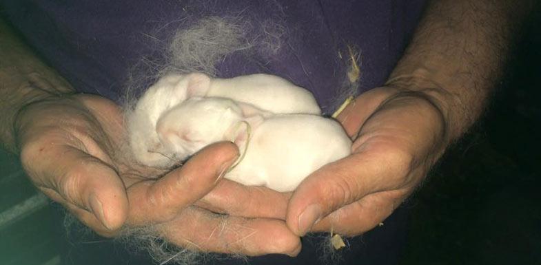 white flemish giant rabbit babies
